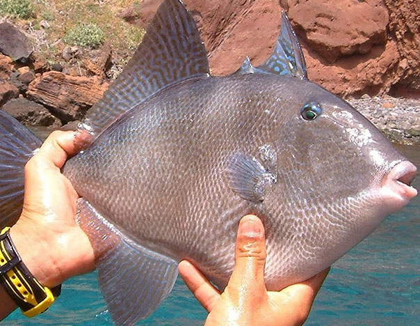 El cochito, más que un pescado para ceviche - CULCO BCS